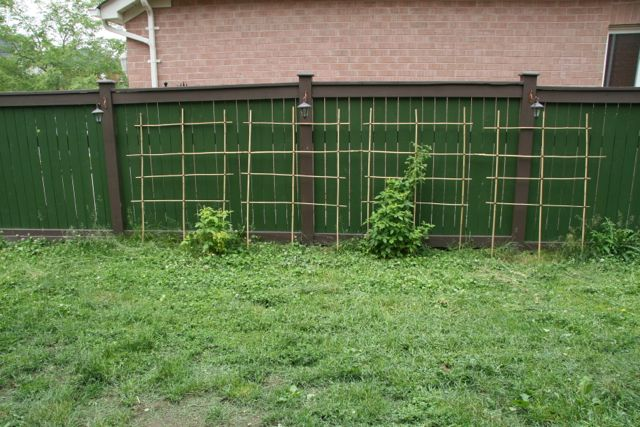 brambles against a trellis with a green fence.