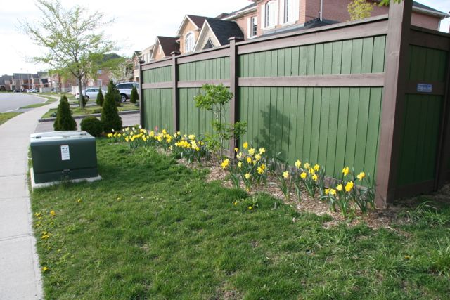 Daffodils along a fence with an unblooming lilac.