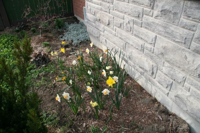 Another patch of daffodils.