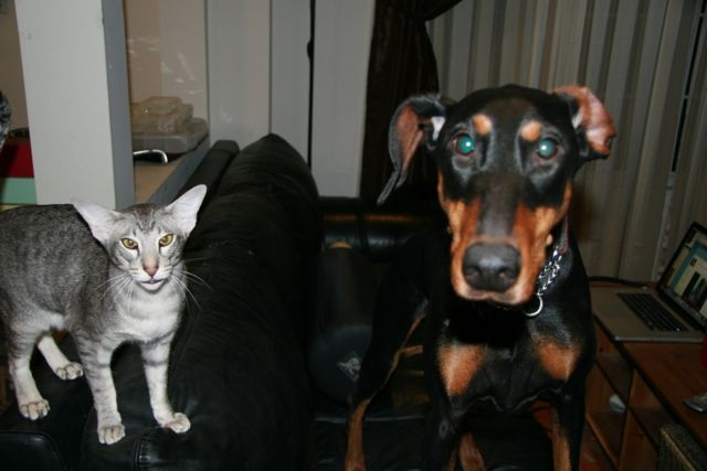 Doberman and grey cat on a couch.