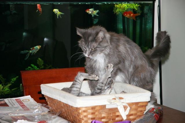 Two grey cats in a basket.
