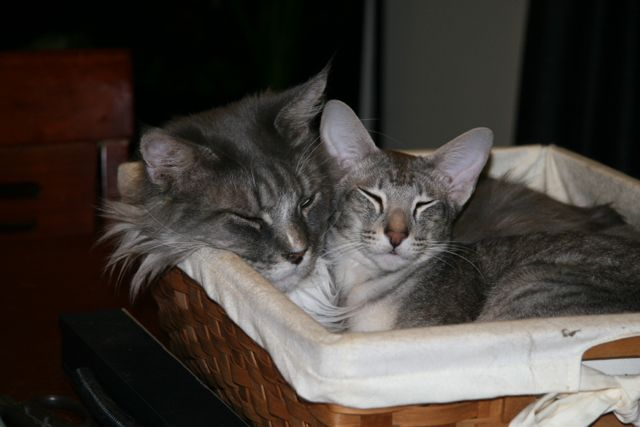 Maine Coon and OSH in a basket.