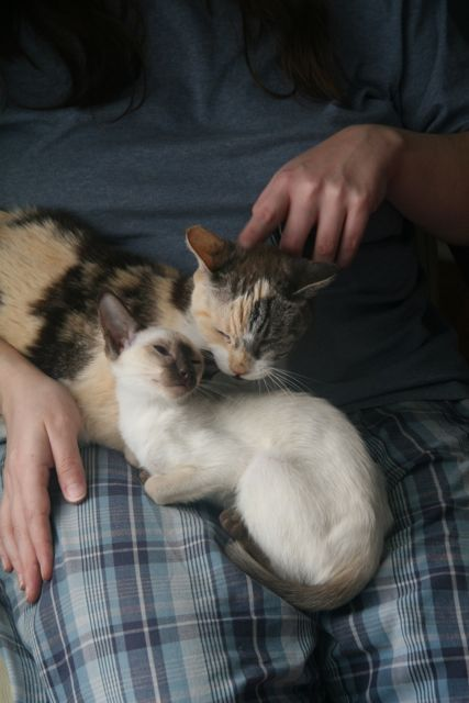 Chocolate point siamese kitten and older calico cat in lap.