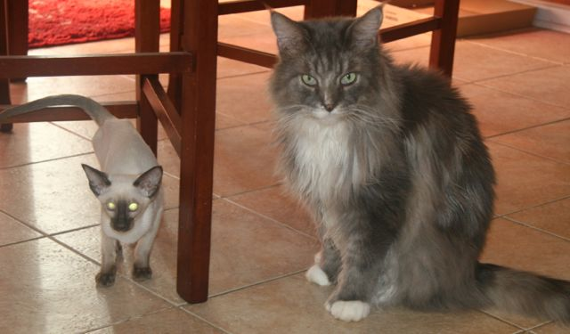Chocolate point siamese kitten and grey Maine coon.