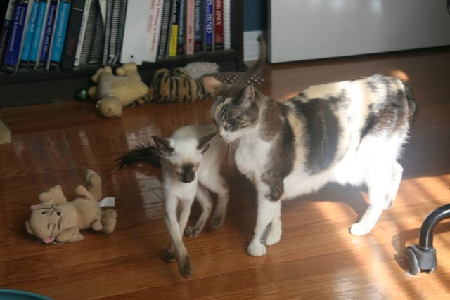 Chocolate point siamese kitten and older calico cat.