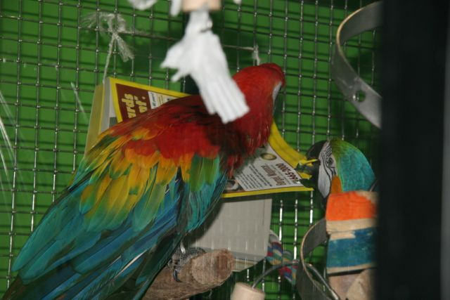 Two macaws in a cage, one chewing on a phone book.