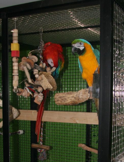 Two macaws in a cage.