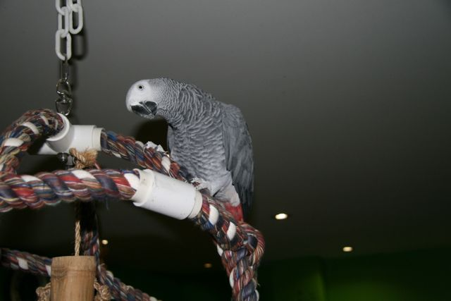 African grey parrot on an atom