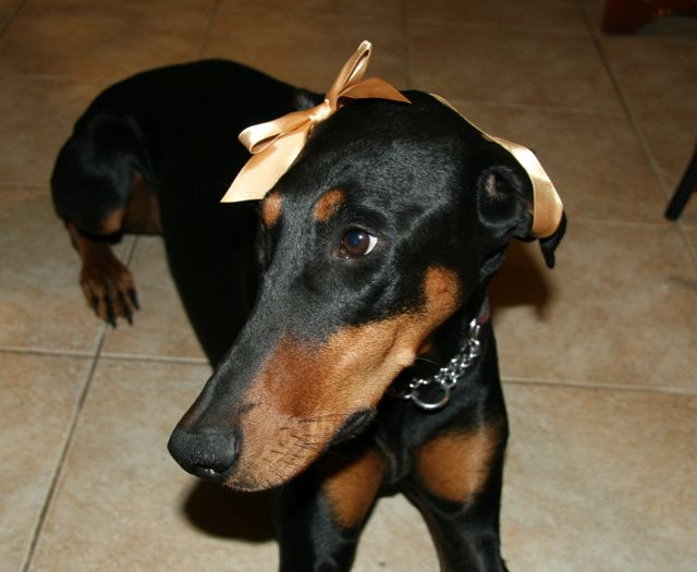 Doberman with a ribbon on her head.