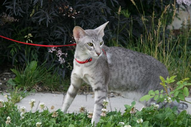 Oriental shorthair cat surrounded by greenery.