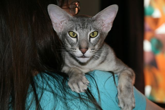 Oriental shorthair being carried.