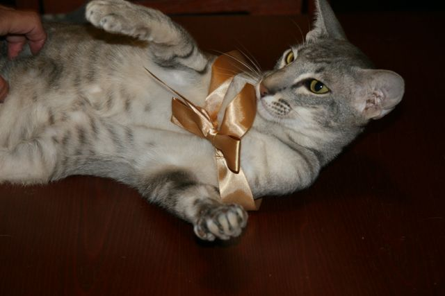 Cat with a ribbon on his head.