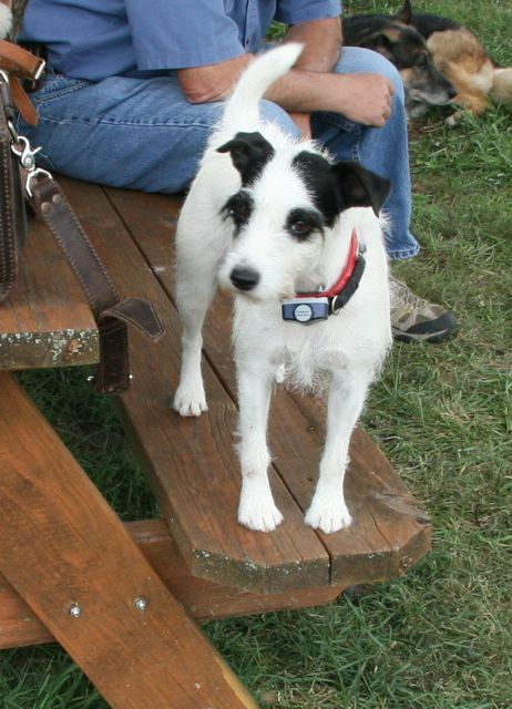 Black and white Jack Russell Terrier.