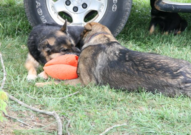 Two GSDs with a ball.