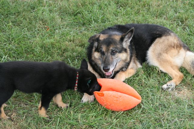 GSD with puppy