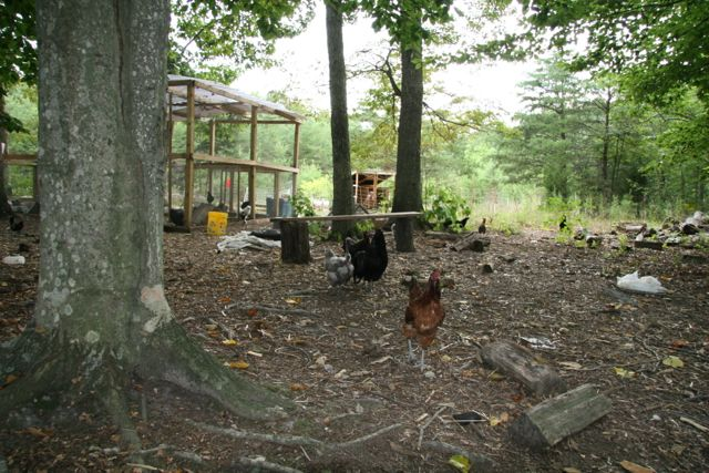 A forest full of chickens.
