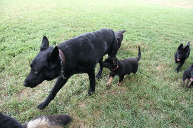 Black GSD with two puppies.