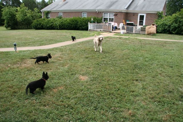 Standard poodle with three black GSD puppies.