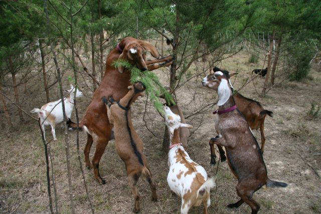 Goats climbing on each other to eat pine.